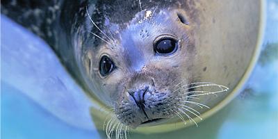 Afbeelding bij Zeeleeuwen & zeehonden