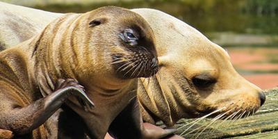 Afbeelding bij Zeeleeuwen